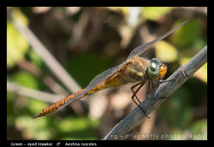 Aeshna osoceles (m) Green-eyed Hawker WP 8-4905