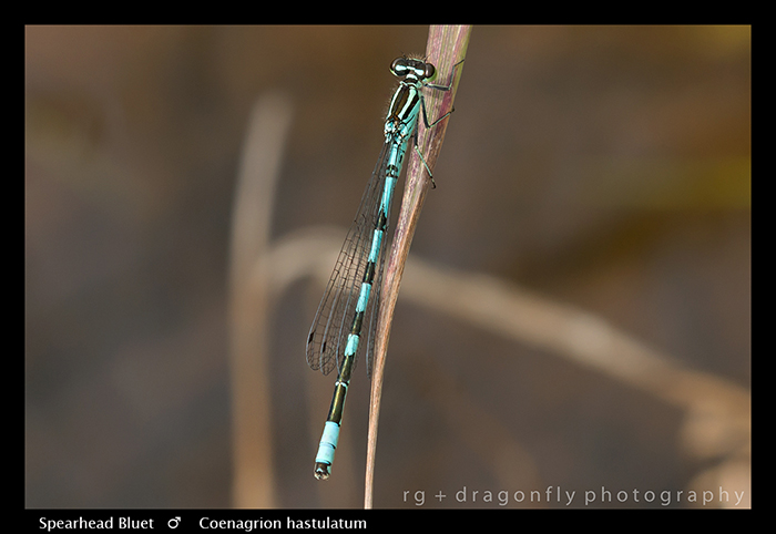 Coenagrion hastulatum (m) Spearhead Bluet WP 8-4603