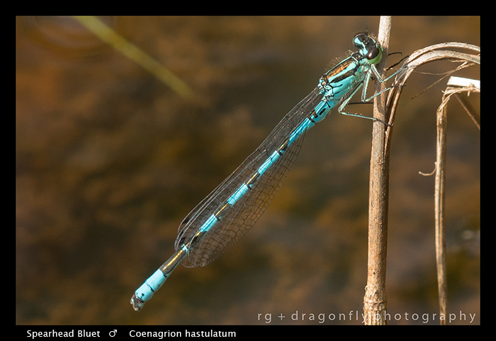 Coenagrion hastulatun (m) Spearhead Bluet WP 8-4624