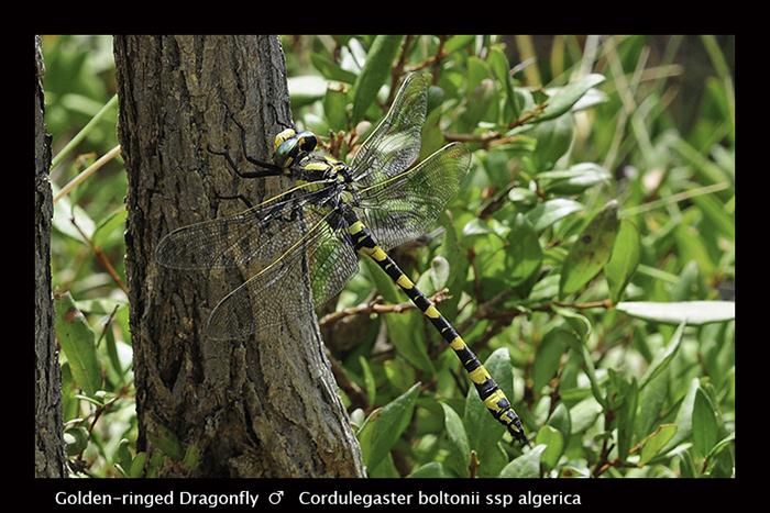 Cordulegaster boltonii ssp algirica (m) Golden-ringed Dragonfly D 5241 B