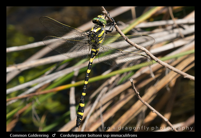Cordulegaster boltonii ssp immaculifrons (m) Common Goldenring WP 8-5093