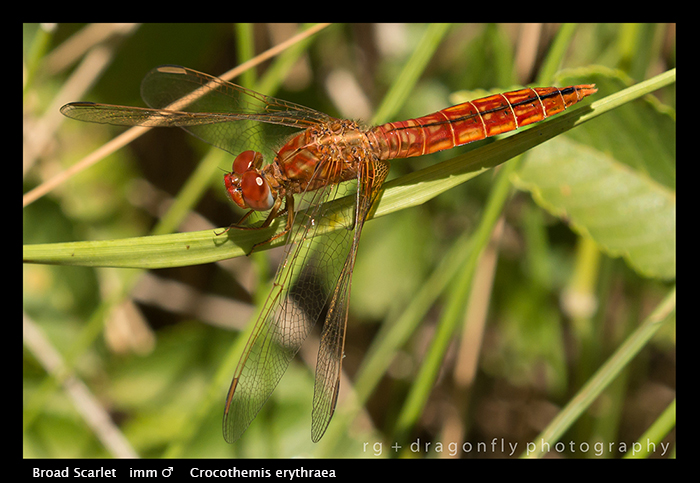 Crocothemis erythraea (ten m) Broad Scarlet WP 8-4679