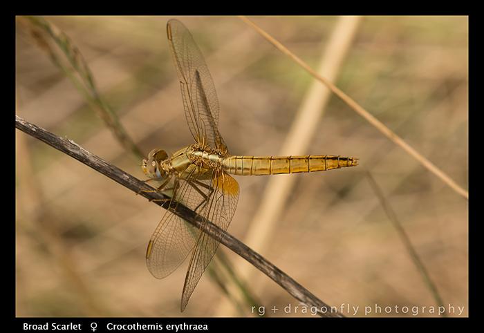 Crocothemis eythraea (f) Broad Scarlet WP 8-4676