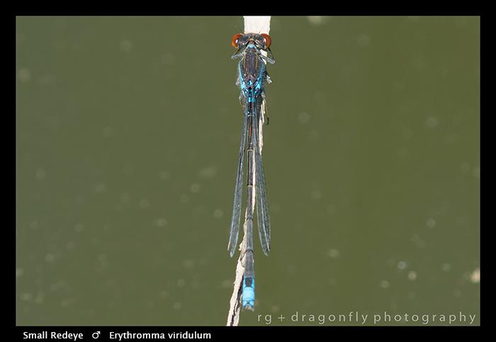 Erythromma viridulum (m) Small Redeye WP 8-4980