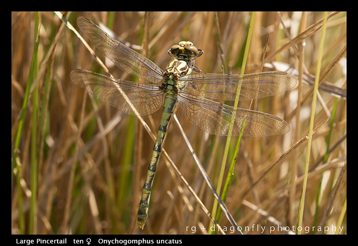 Onychogompus uncatus (ten f) Large Pincertail WP 8-4949