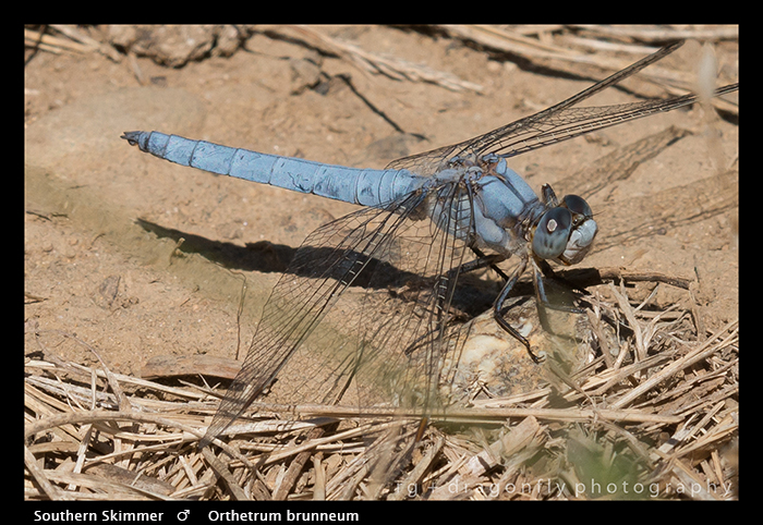 Orthetrum brunneum (m) Southern Skimmer WP 8-4827