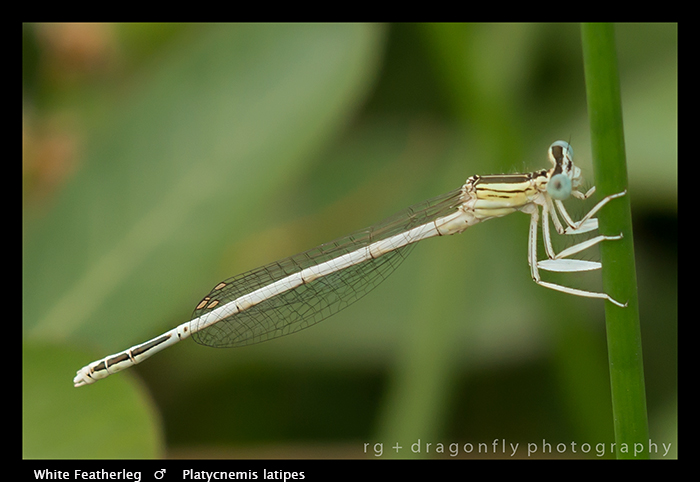 PLatycnemis latipes (m) White Featherleg WP 8-4744