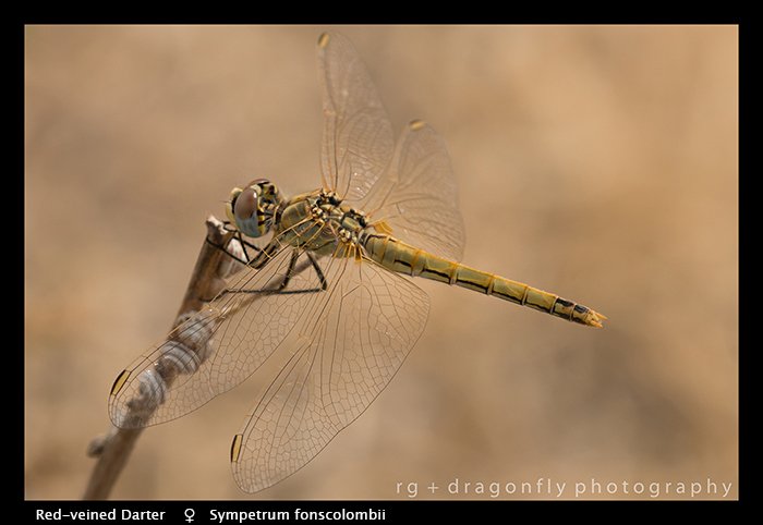 Sympetrum fonscolombii (f) Red-veined Darter WP 8-4783