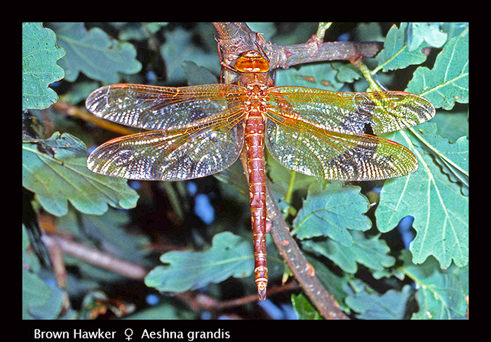 Aeshna grandis (f) Brown Hawker S 568 CS5