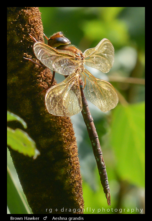 Aeshna grandis (m) Brown Hawker A 8-5152