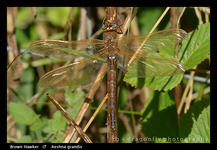 Aeshna grandis (m) Brown Hawker WP 8-5171