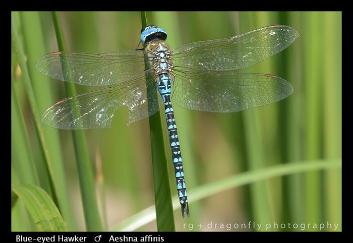 Blue-eyed Hawker - (m) - Aeshna affinis WP 8-3-8515