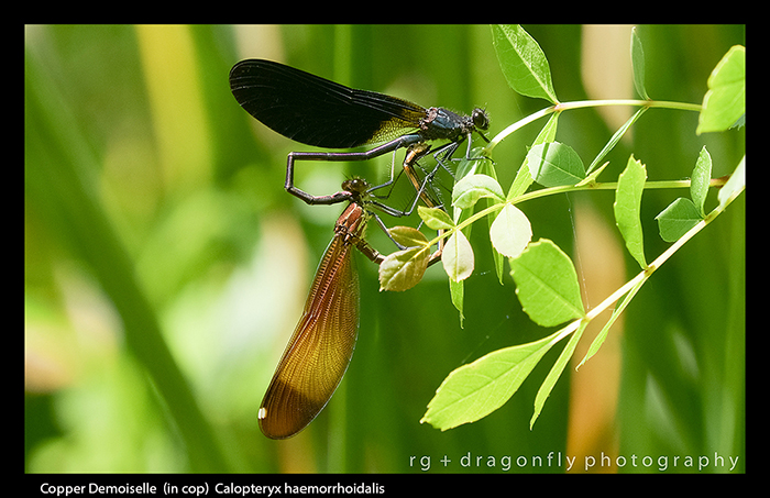 Calopteryx haemorrhoidalis (in cop) Copper Demoiselle 8-3270 WP
