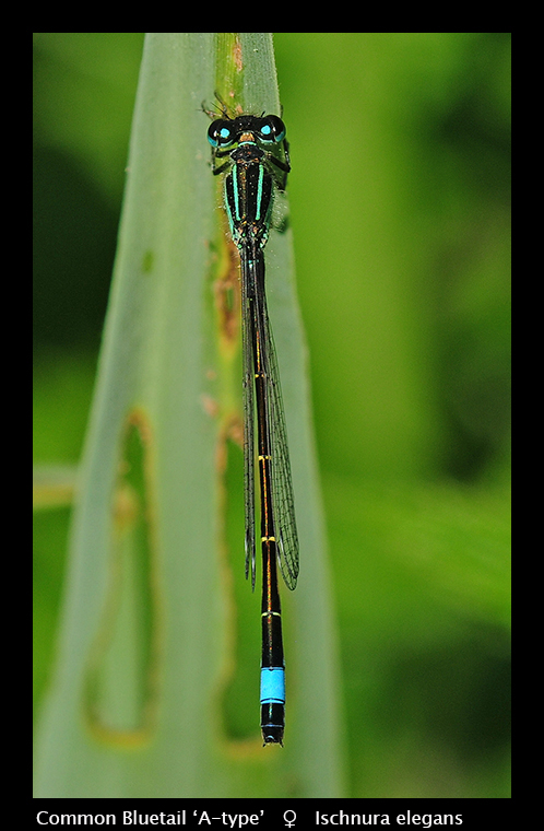 Ischnura elegans - Common Bluetail (m) WP D5518 CS5