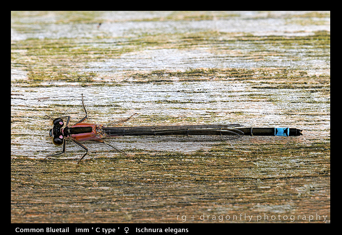 Ishnura elegans ( f C type) Common Bluetail WP D1 A CS5-1