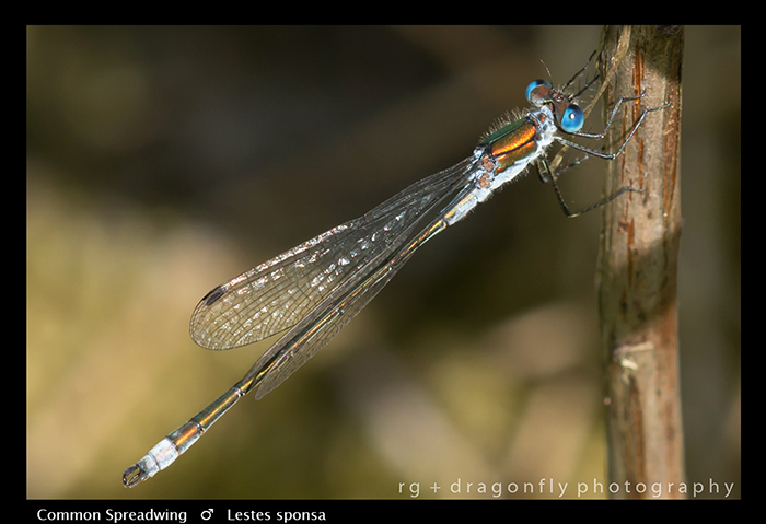 Lestes sponsa (m) Common Spreadwing WP 8-5125
