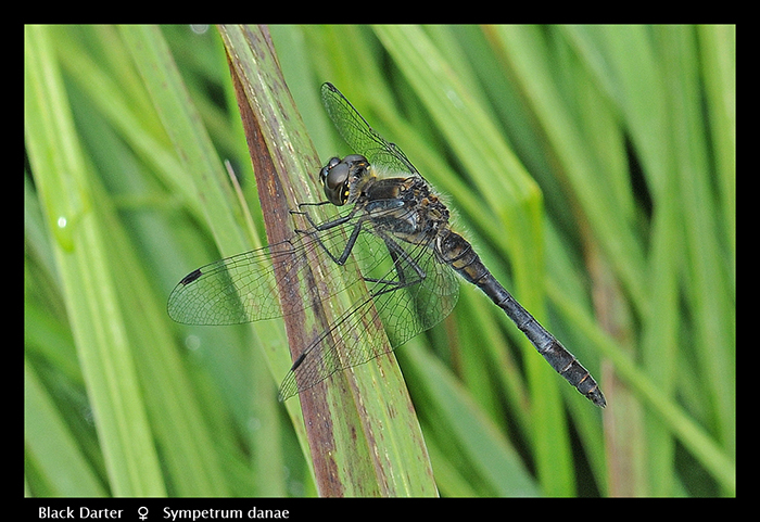 Sympetrum danae (m) Black Darter WP D 2 CS5