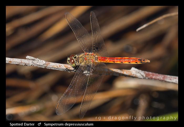 Sympetrum depressiusculum (m) Spotted Darter WP 8-4883