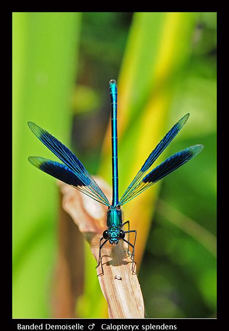 Calopteryx-splendens-m-Banded-Demoiselle-D4794-A-W-CS5
