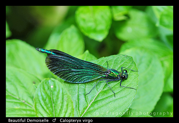 Calopteryx virgo (m) Beautiful Demoiselle WP