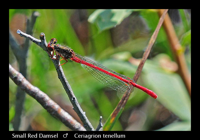 Ceriagrion tenellum (m) Small Red Damsel WP D 4341 CS5