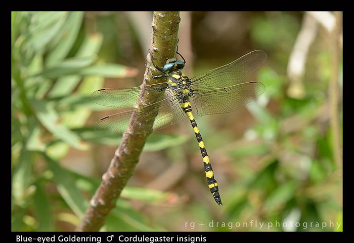 Cordulegaster insignis (m) Blue-eyed Goldenring 8-0416 W 700