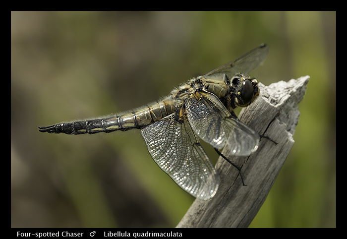 Libellula quadrimaculata (m) Four-spotted Chaser WP 8-4593