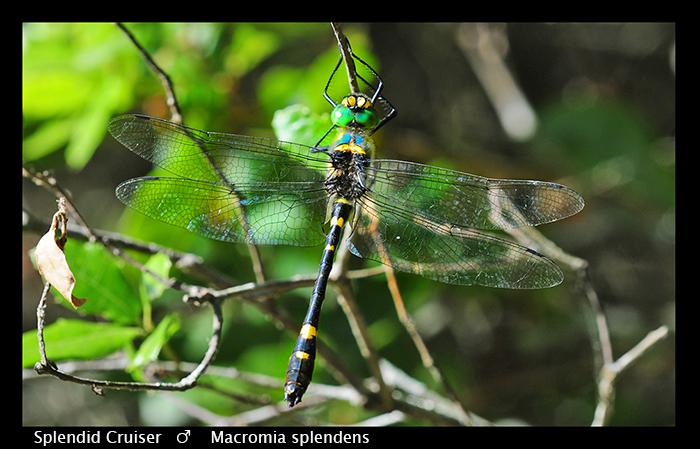 Macromia splendens 1 (m) Splendid Cruiser WP D 5706