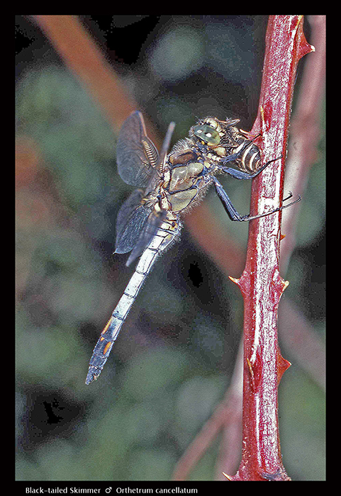 Orthetrum cancellatum (m) Black-tailed Skimmer WP S 434 CS5