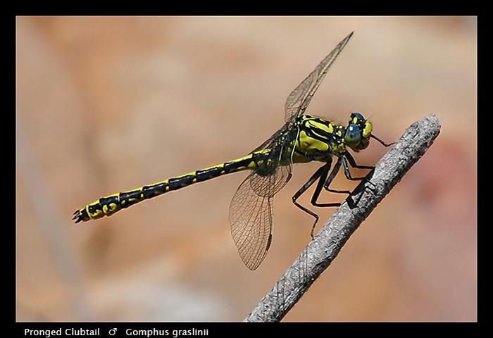 Pronged Clubtail (m) Gomphus graslinii WP 3-5707
