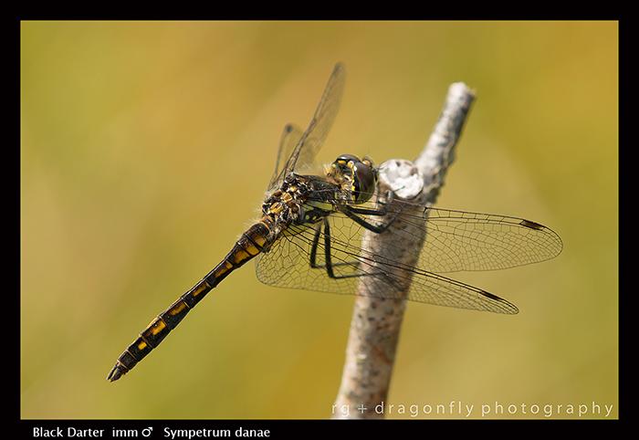 Sympetrum danae (imm m) Black Darter WP 8-2126