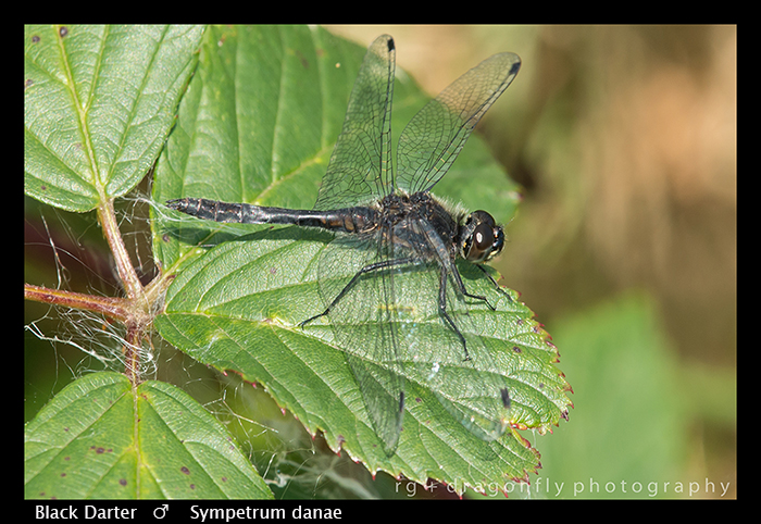 Sympetrum danae (m) Black Darter 300 WP-8-5313