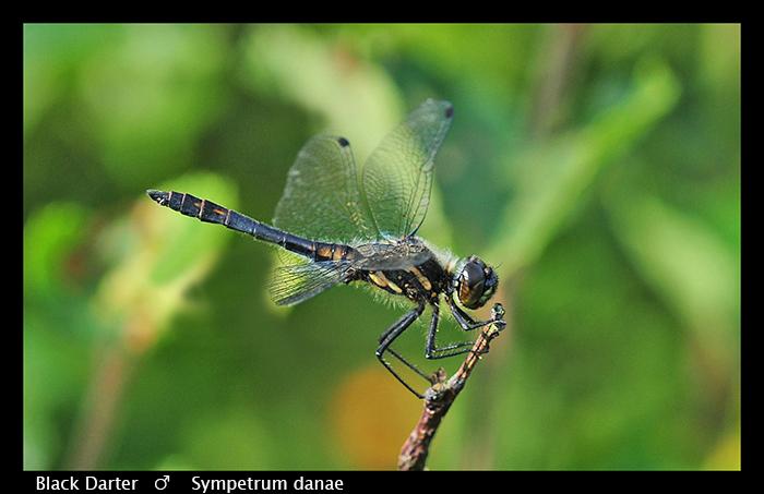 Sympetrum danae (sub ad m) Black Darter WP D 4758 CS5