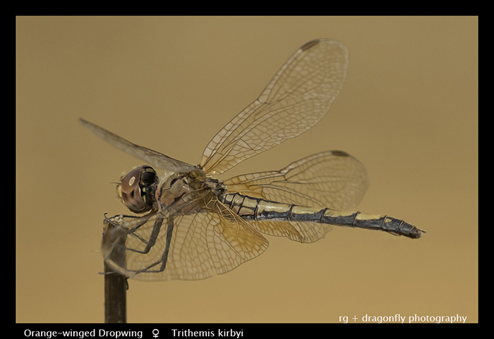 Trithemis kirby (f) Orange-winged Dropwing WP 3914