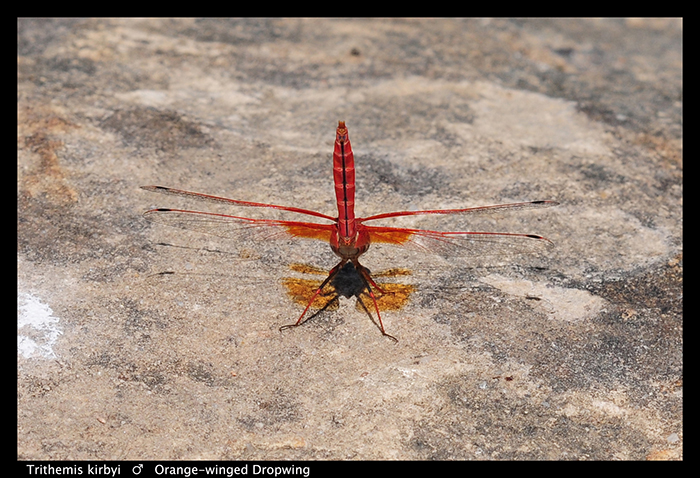 Trithemis kirbyi (m) Orange-winged Dropwing WP