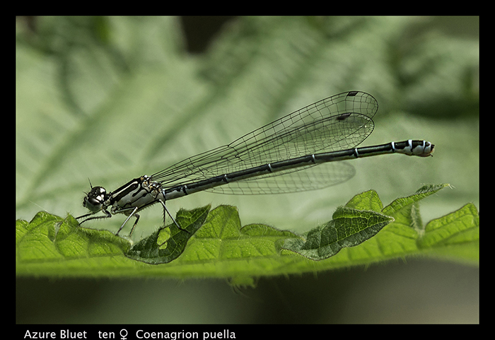 Azure Bluet (ten f) Coenagrion puella WP 8-4211