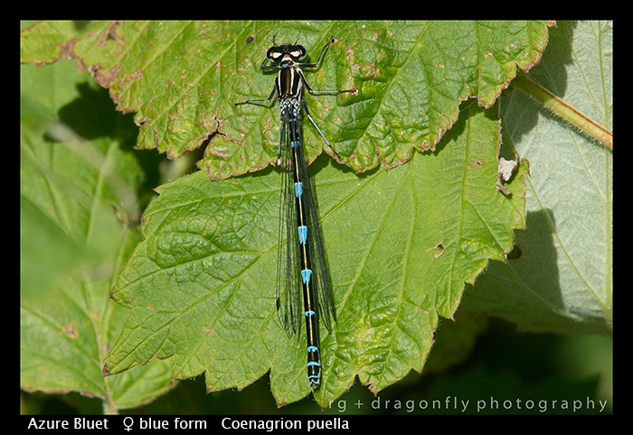 Coenagrion puella (f blue form) Azure Bluet WP 8-7809