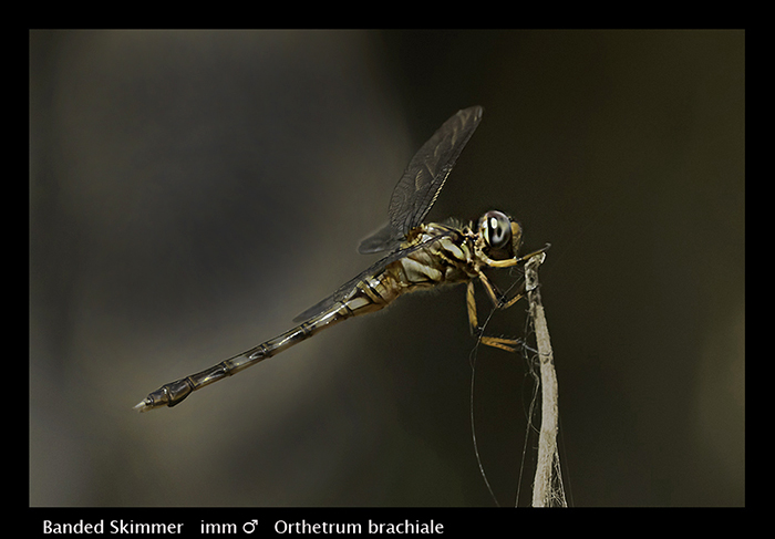 Orthetrum brachiale (imm m) Banded Skimmer Web