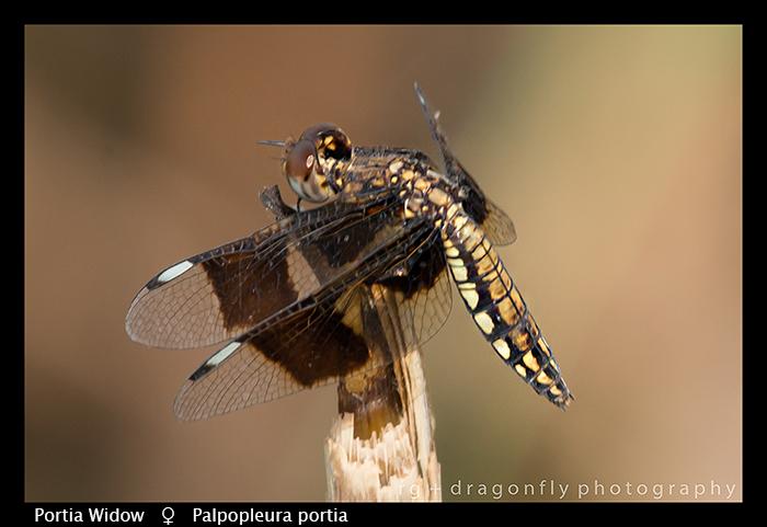 palpopleura-portia-f-portia-widow-wp-8-6025