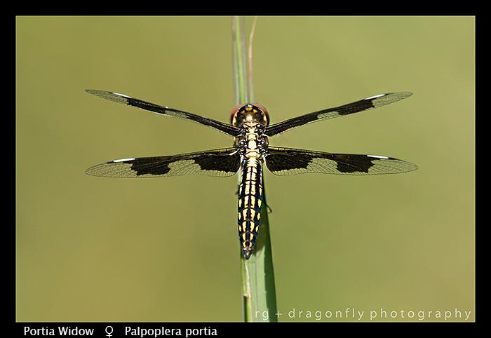 portia-widow-f-palpoplera-portia-wp-8-5888