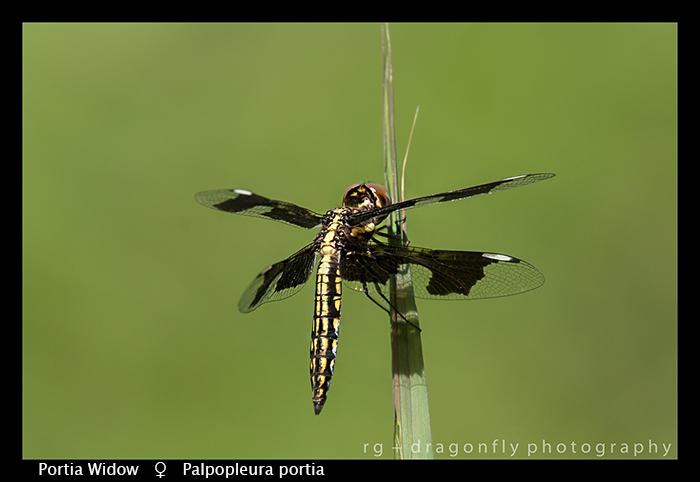 portia-widow-f-palpopleura-portia-wp-8-5885