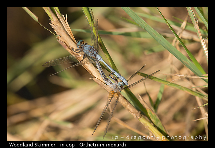 woodland-skimmer-in-cop-orthetrum-monardi-wp-8-6130