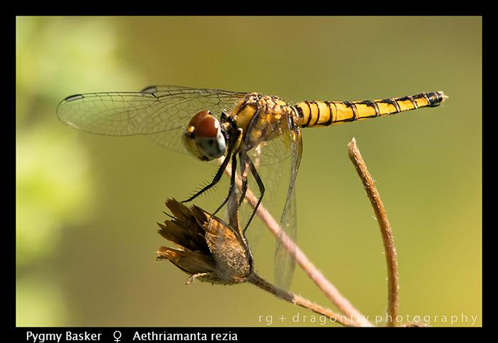 aethriamanta-rezia-f-pygmy-basker-wp-8-6035