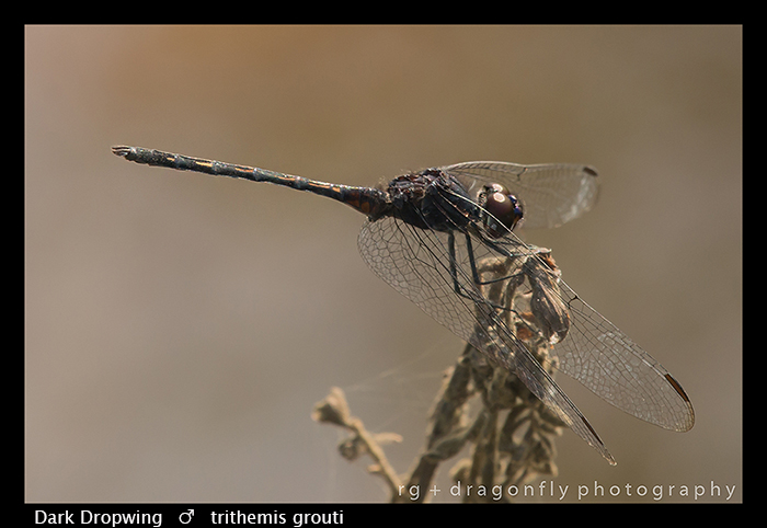 dark-dropwing-m-trithemis-grouti-wp-8-6141