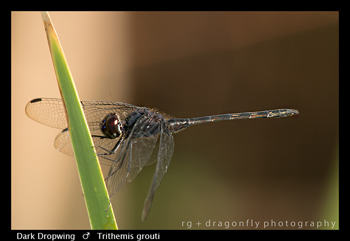 dark-dropwing-m-trithemis-grouti-wp-8-6338