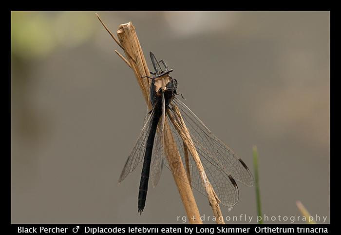 diplacodes-lefebvrii-m-black-percher-wp-8-5927