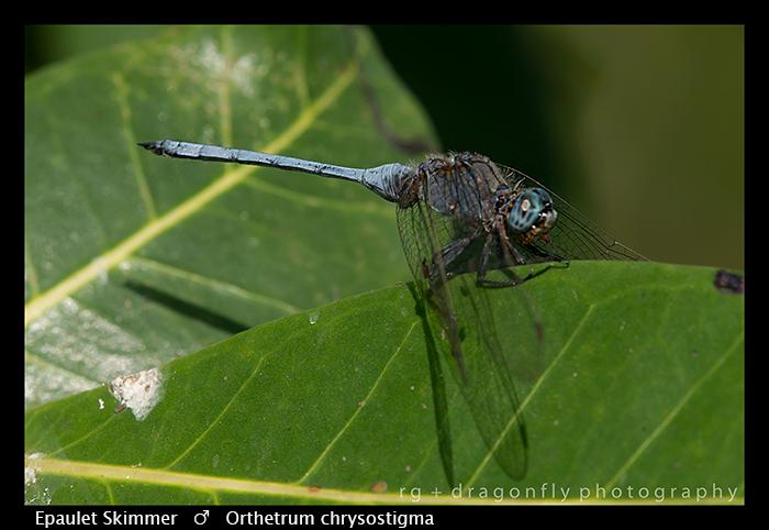 epaulet-skimmer-m-orthetrum-chrysostigma-wp-8-5813