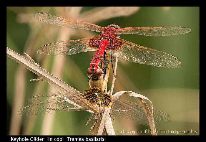 keyhole-glider-in-cop-tramea-basilaris-wp-8-5959