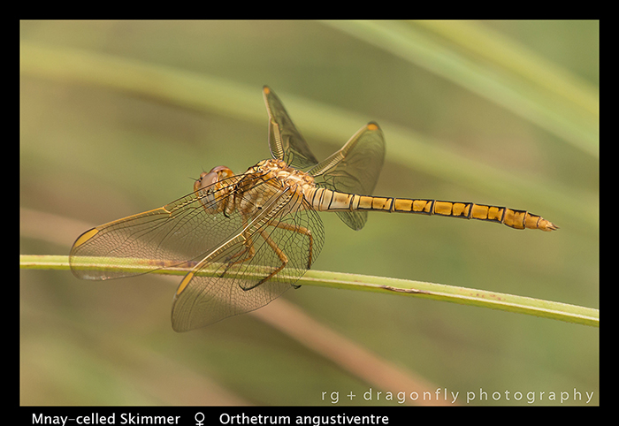 Many-celled Skimmer (f) Orthetrum angustiventre WP 8-5961