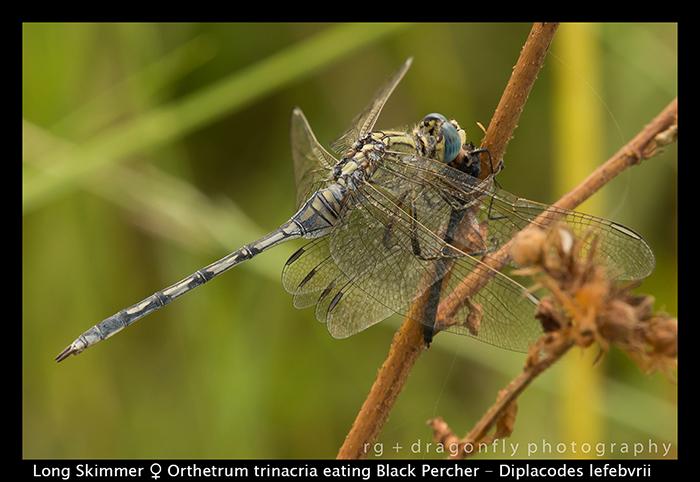orthetrum-trinacria-f-eating-diplacodes-lefebvrii-wp-8-5931